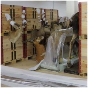 Abbildung 2: Aufnahme der eingebrachten Tierpräparate. Die Hörner wurden zum Schutz mit einem Vlies umwickelt. Foto: UMJ