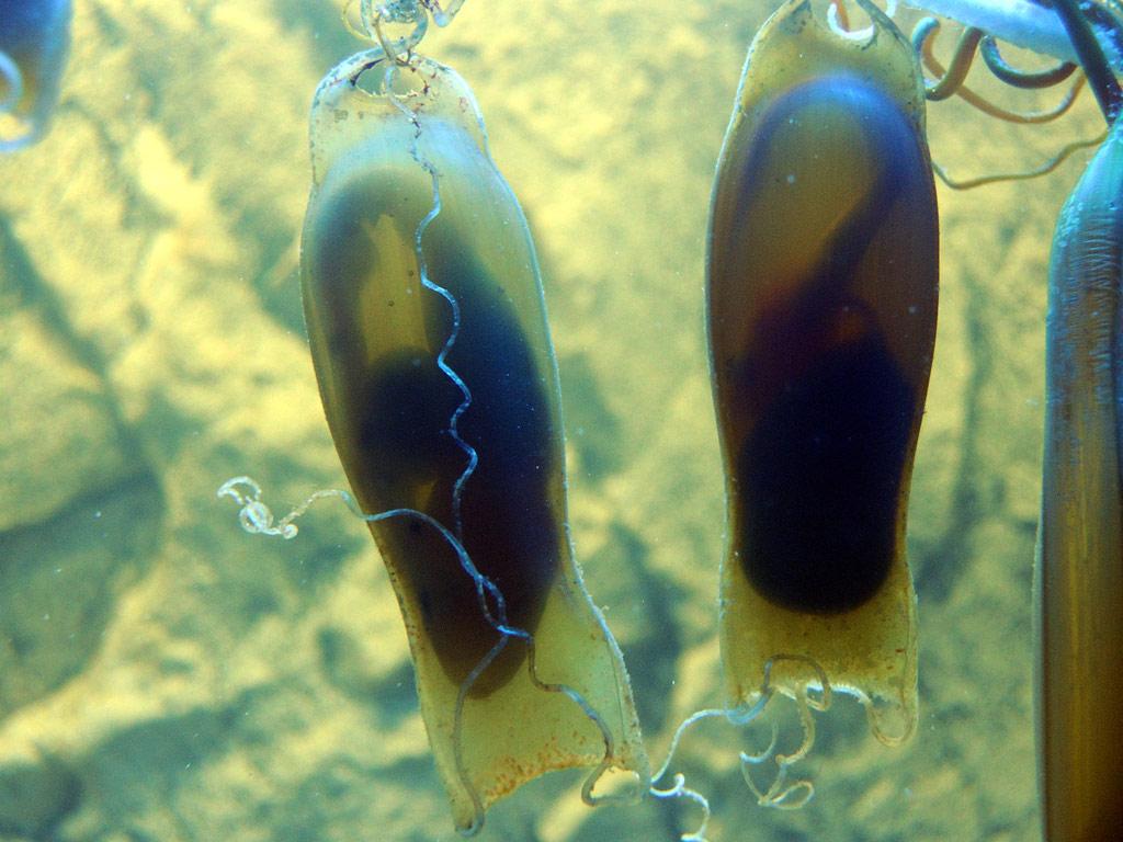 """""""Seemäuse"""" (Embryonen von Katzenhaien) im Fischwelten-Aquarium, Foto: Gerwin Gretschel"""