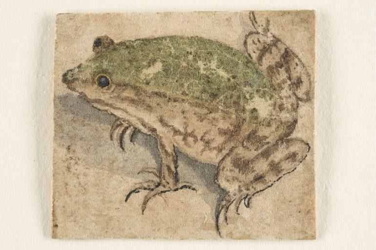 Deutsch, um 1600, Zwei Wasserfrösche, Aquarell, 3,1 x 3,8 cm, Alte Galerie, Inv.-Nr. HZ 258, Foto: UMJ