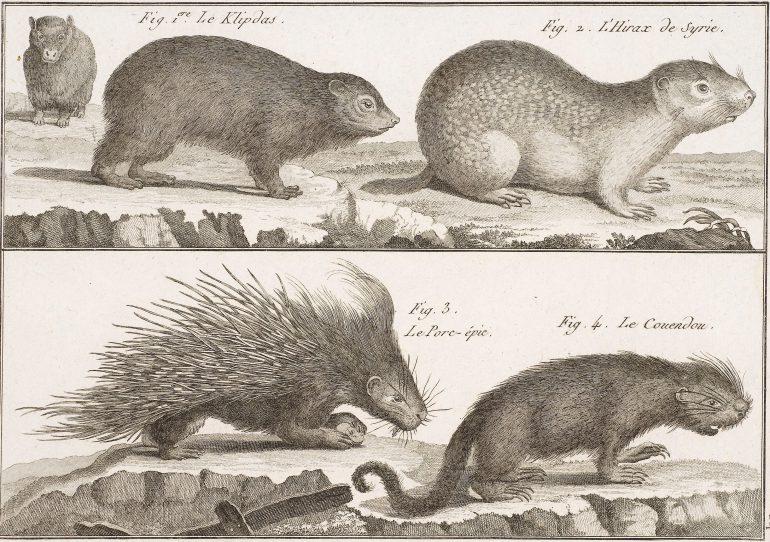 Anonym, Stachelschwein, Detail aus: Encyclopédie Méthodique. Histoire naturelle des Animaux, Paris 1782, Radierung, 19 x 25,5 cm, Alte Galerie, Inv.-Nr. 2016/1