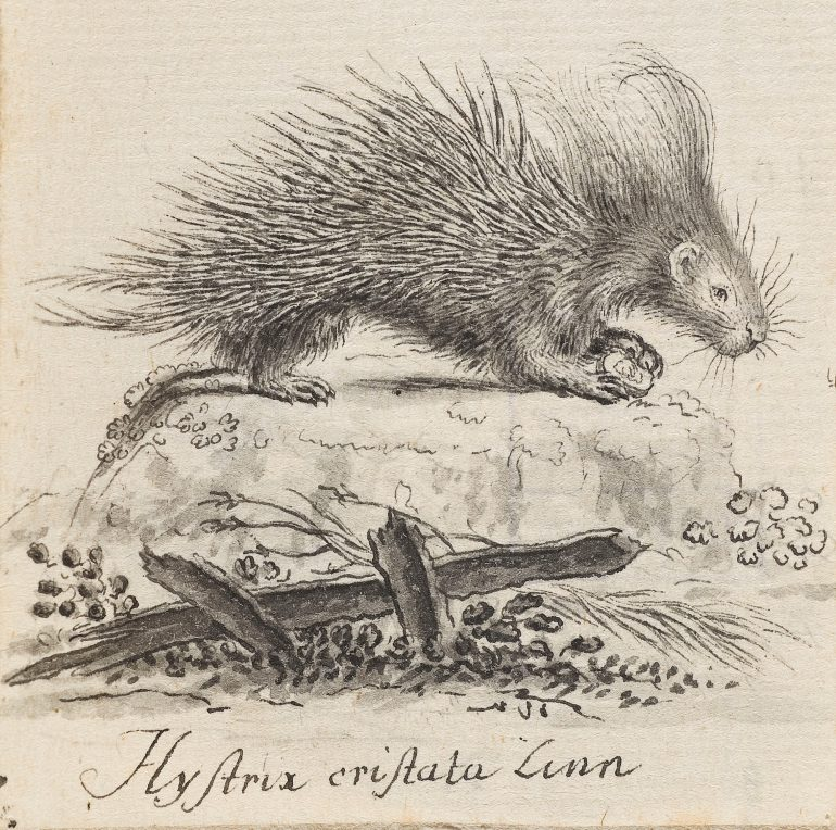 Art des Jacques de Sève (tätig um 1742–1788), Stachelschwein, Feder in Grau, 7,6 x 6,3 cm, Alte Galerie, Inv.-Nr. HZ 287