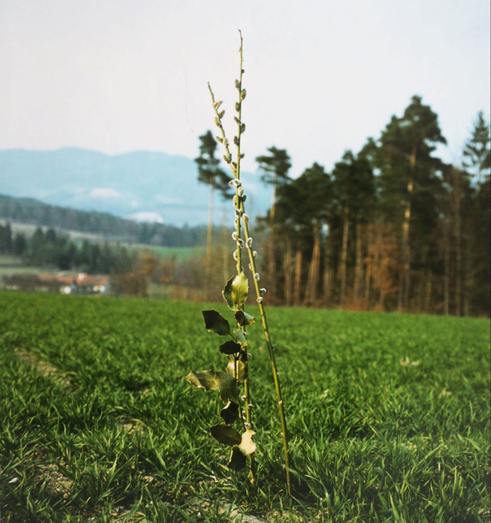Palmzweig im Feld
