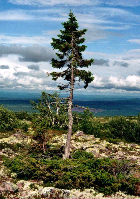 """Das Bild zeigt die Fichte """"Old Tjikko"""" im schwedischen Dalarna. Foto: Karl Brodowsky"""
