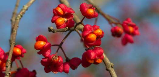 Die leuchtend roten Früchte des Europäischen Spindelstrauchs (Euonymus europaeus) entlassen die reifen, ebenfalls auffällig gefärbten Samen. Für Vögel sind diese Farben äußerst attraktiv. Foto: K. Zernig.