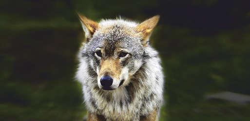 """Sujet """"Der Wolf"""","""