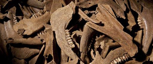 Unterkiefer und Schulterblätter von Rindern aus dem Kultgraben des latènezeitlichen Heiligtums auf dem Frauenberg bei Leibnitz,