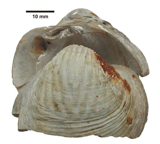 Schale (Gattung Diplodon) des möglichen Erzeugers der Muschellarven,